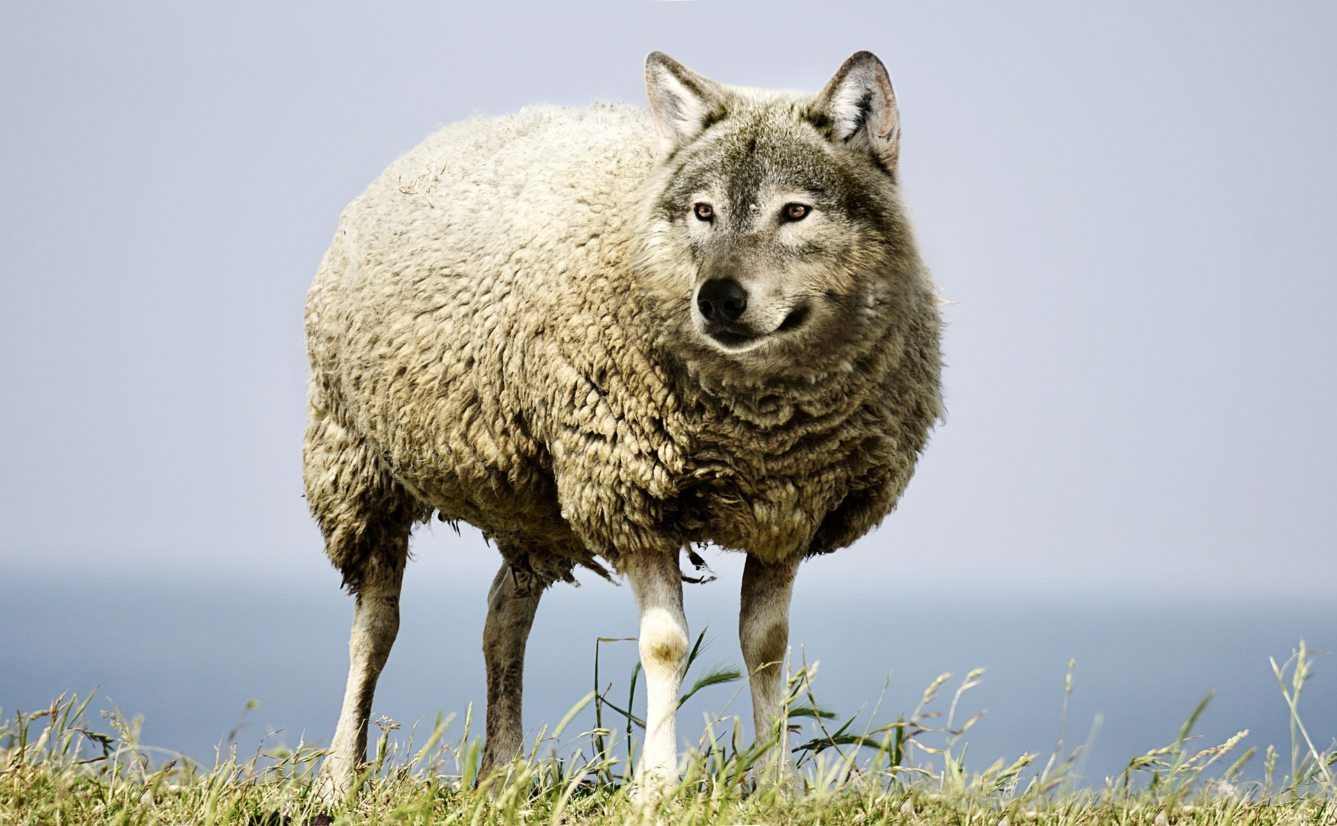 wolf-in-sheeps-clothing-2577813_1920.jpg