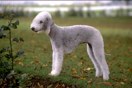 Bedlington_Terrier.jpg