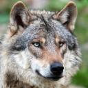 wolfi-1963